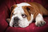 Cucciolo di Bulldog inglese