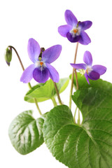 sweet violet, viola odorata isolated on white background