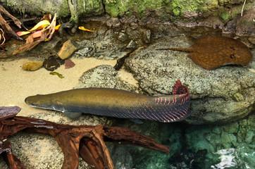 Arapaima fish in shallow water