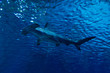 Silhouette of hammerhead shark in the water - 76984954