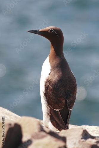 Staande foto Pinguin uria uccello marino isole farne scozia mare artico