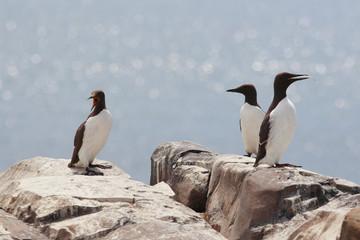 uria uccello marino isole farne scozia mare artico