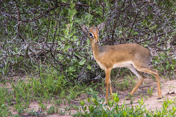 A dik-dik, a small antelope in Africa. Lake Manyara national par
