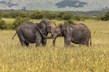 Wild elephant in Maasai Mara National Reserve, Kenya.