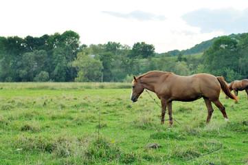 Brown horses grazing