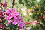 Fotoroleta lily flower