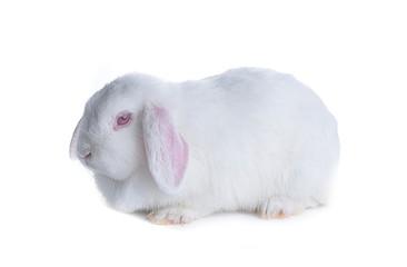 White rabbit isolated on white background.