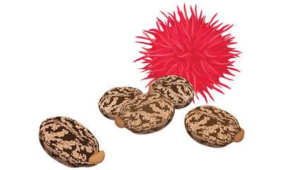 Castor fruit and seeds , vector illustration