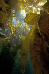 Sun Light through Kelp Forest