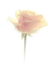 flowers background rose