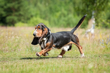 Basset hound dog running in summer