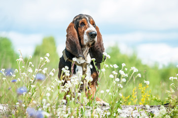 Basset hound dog sitting in flowers
