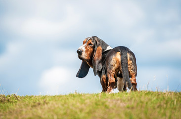 Basset hound dog looking back on the top of the hill