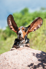 Funny basset hound with ears up