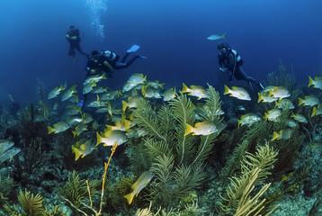 Caribbean Sea, Cuba, divers and a school of tropical grunts