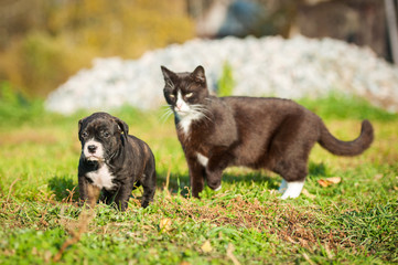 Big cat pursues a little puppy