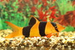 Colourful aquarian small fish - 76997994