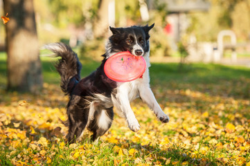 Border collie playing with frisbee in the park in autumn