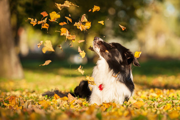 Border collie looking at falling leaves