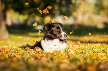 Portrait of border collie lying on lawn in autumn