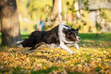 Border collie running in the park in autumn