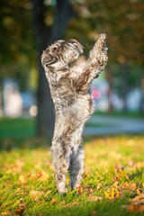Miniature schnauzer dog standing on its hind legs