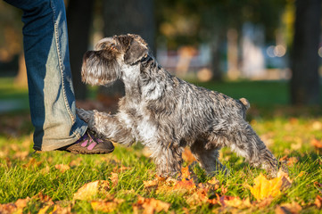 Miniature schnauzer dog making trick