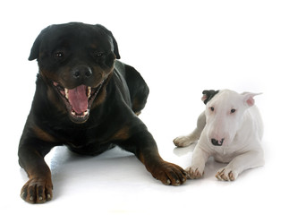 puppy bull terrier and rottweiler