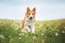 """Постер, картина, фотообои """"Red border collie dog running in a meadow"""""""