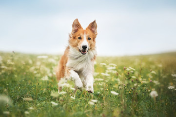 Red border collie dog running in a meadow