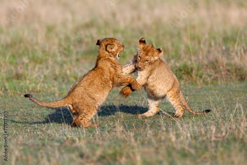 Fotobehang Leeuw Playing Lion cubs in Masai Mara
