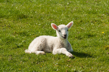 newborn lamb basking on spring meadow