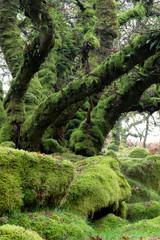 Wistmans wood Dartmoor Devon Uk