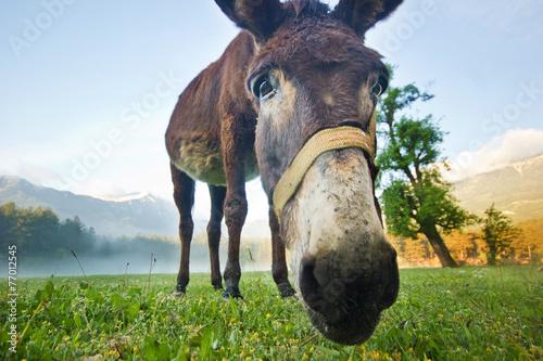 Poster Ezel funny donkey nose closeup