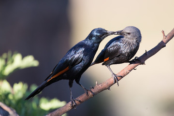 Pair of red winged starlings wit on branch busy with courtship