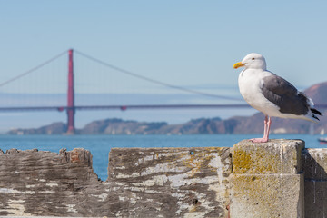 Seagull sitting on a fence in front of the Golden Gate Bridge.