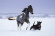 Paint miniature horse playing with a dog on snow field