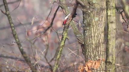 Dendrocopos major. Great Spotted Woodpecker