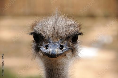 Fotobehang Struisvogel Straussengesicht - Südafrika