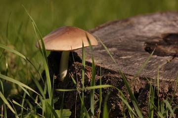 гриб возле пня