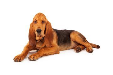Adorable Large Bloodhound Puppy