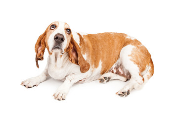 Gulity Basset Hound Dog