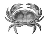19th century engraving of a crab