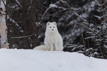 Arctic Fox in a winter scene