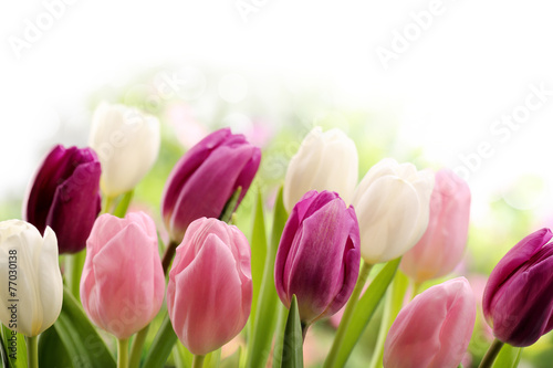 Tulips - 77030138