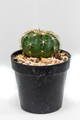 Cactus in flowerpot