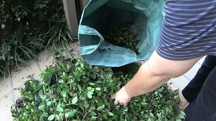 Gardener putting leaf litter into a gardening bag.