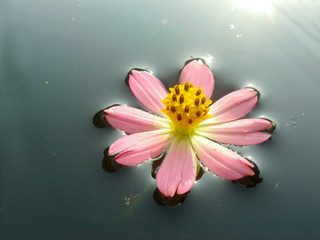 A pink flower on water