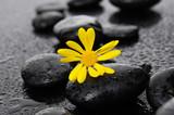 gerbera with wet stones on wet background - 77045306
