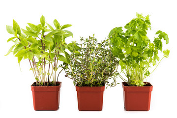 Three common herbal leafs - Basil, Thyme and Parsley in pots